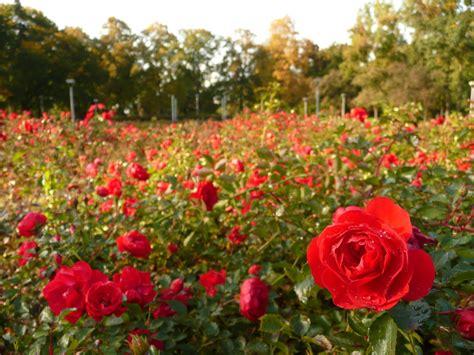 field  roses wallpaper wallpapersafari