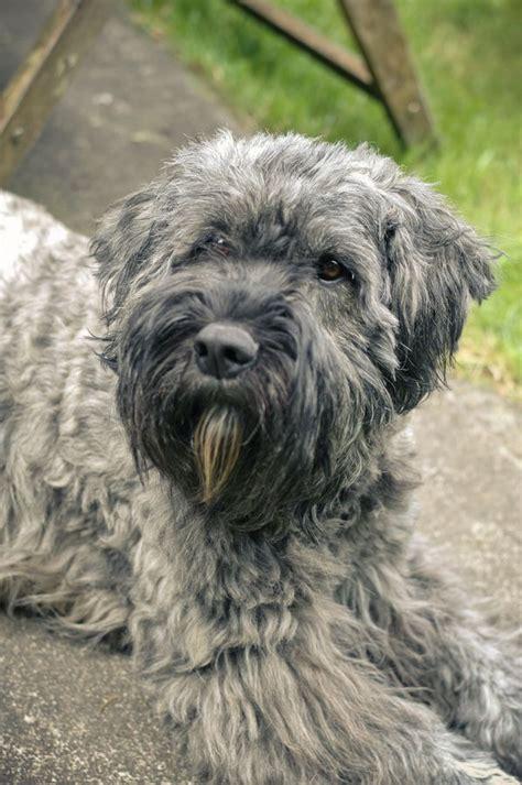 bouvier des flandres puppies needing a home lhasa apso shih tzu dogs newhairstylesformen2014
