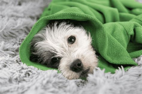 congestive failure late stages congestive failure in dogs symptoms and remedies allivet pet care