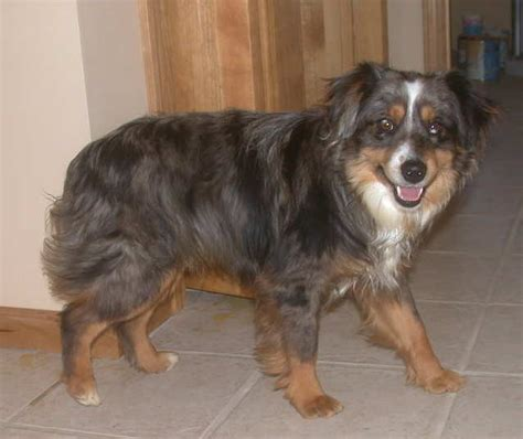 merle rottweiler pin blue merle rottweiler image search results on
