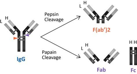 Fab Site Shopamiamicom 2 by 면역학 3 항원과 항체 항원결정기 항체의 구조 네이버 블로그