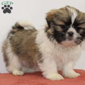 shih tzu for sale ny shih tzu puppies for sale in de md ny nj philly dc and