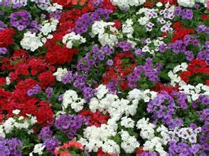 colorful ground cover ground cover with colorful flowers for poor soil and part