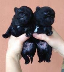 pug puppies for sale in australia 1000 images about pug puppies on puppies for sale pug puppies for sale