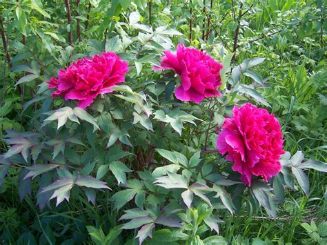 tree peony slow growing shrub to 4 tall by 6 wide with up to 200