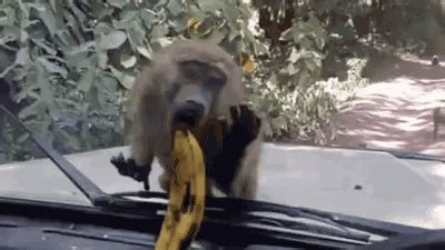 monkey gifs find on giphy
