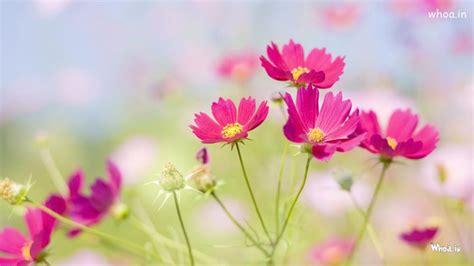 pink flower  garden hd wallpaper