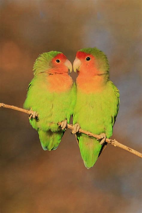 rosy faced lovebird bird wildlife photography by