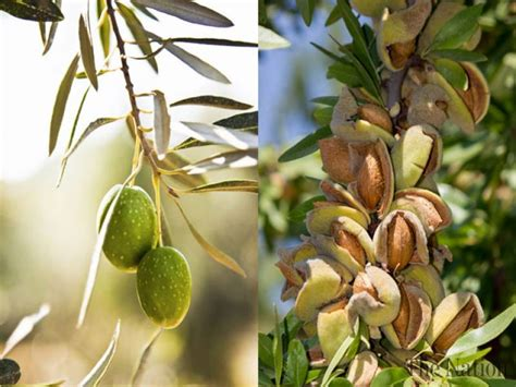 pista tree images pakistan has tremendous potential in pistachio olive farming
