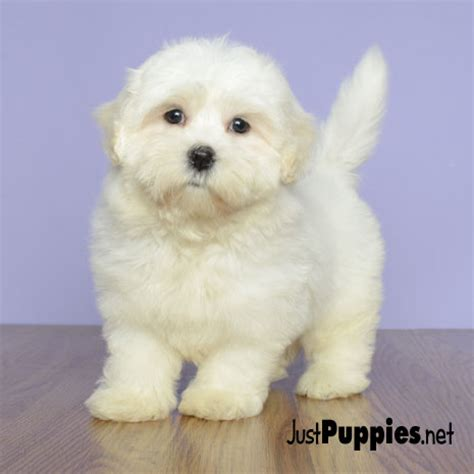puppies orlando fl puppies orlando florida breeds picture