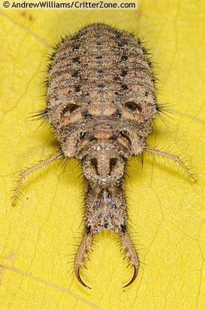 doodle bug ant larva doodlebug myrmeleon bugguide net