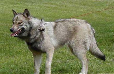 siberian husky german shepherd rottweiler mix gerberian shepsky siberian husky german shepherd mix