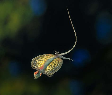 lucertole volanti esiste una lucertola chiamata quot drago volante quot con