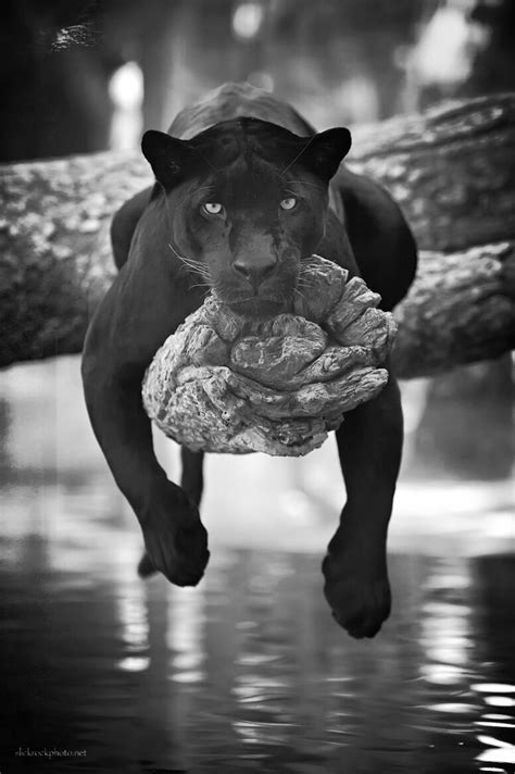 Kaos Black Panther 2 F 024 125 best cats images on kittens