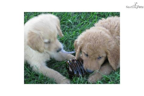 working golden retriever puppies for sale golden retriever puppies for sale 21 free wallpaper dogbreedswallpapers