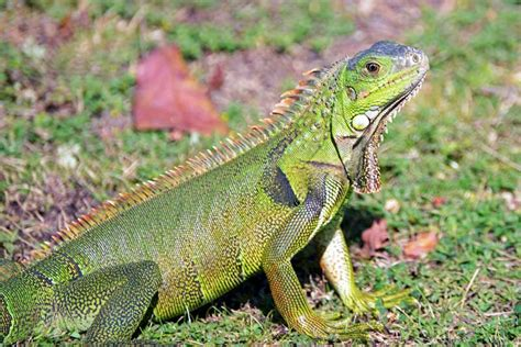 imagenes de iguanas rojas iguana odiosa plaga informe agr 237 cola
