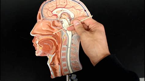 respiratory system anatomy air flow   nose