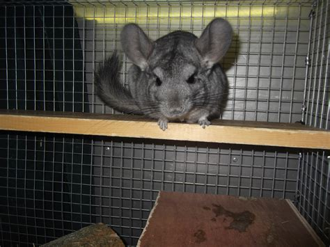 chinchilla house chinchilla dust bath container images