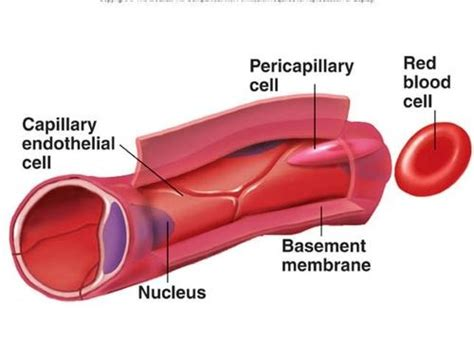 diagram of a capillary lymphatic capillary diagram lymphatic get free image