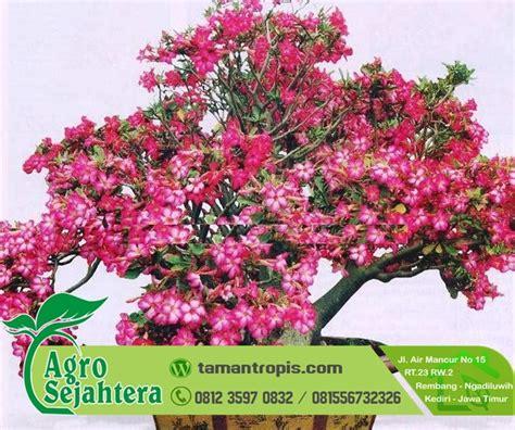 Jual Bibit Bunga Zephyranthes jual bibit bunga pentris