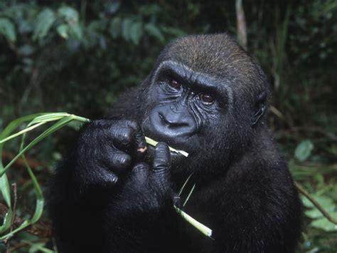 Western Lowland Gorilla   Species   WWF