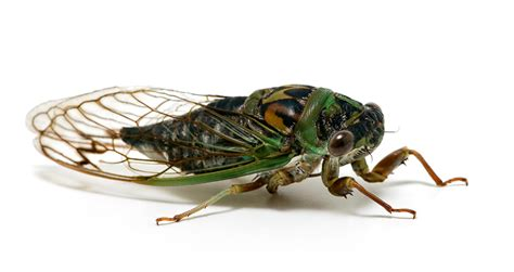 day cicada davis southeastern day cicada songs of insects