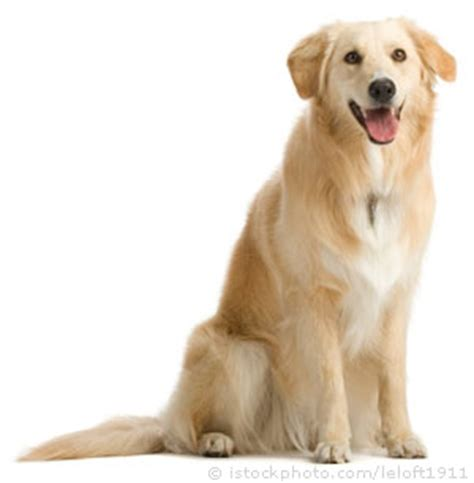 origin of golden retriever dogs dogs golden retriever