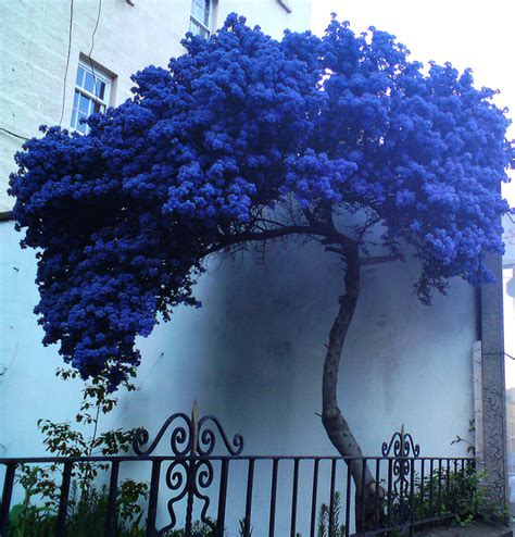 a strange lonely blue tree blue flowers lonely and leaves