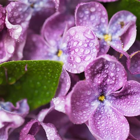 Violets With Dew On Pics | crafters choice violets dew drops fragrance oil 939
