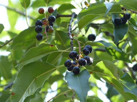 black fruit tree experts recommend these six trees to plant in the