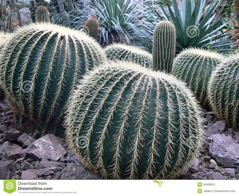 www large large cacti stock image image of nature green botanical
