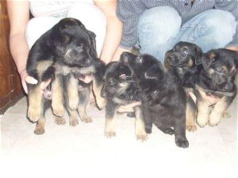german shepherd puppies for sale in utah german shepherd puppies in utah