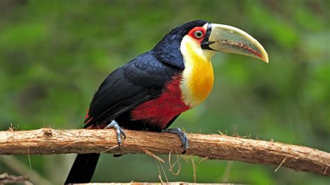 birds toucans wallpaper 1920x1080 birds toucans download