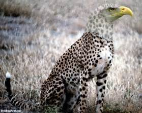 Do Jaguars Eat Birds Cheetah Eagle Pictures