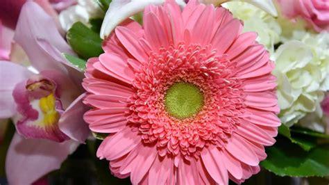 linguaggio dei fiori gerbera significato fiori e piante scopri i fiori adatti in ogni