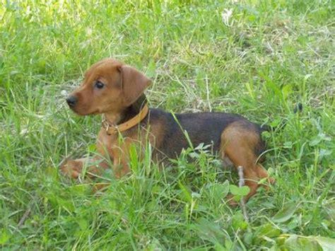 german pinscher puppies german pinscher puppy pictures