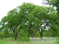 elm tree meaning elm urdu meaning