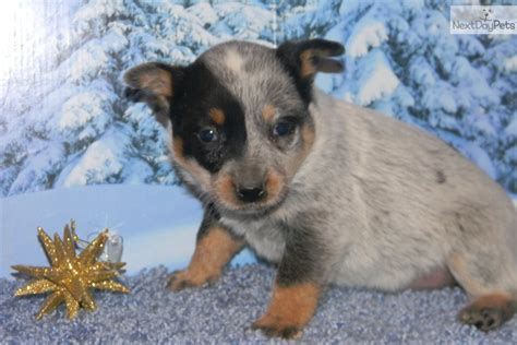 australian cattle puppies for sale near me australian cattle blue heeler puppy for sale near southeast missouri missouri