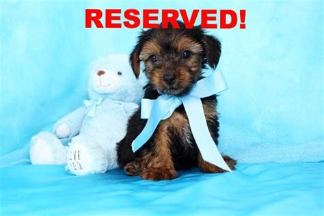 low price yorkie puppies for sale yorkie puppies for sale in carolina yorkie breeders in nc happytail puppies
