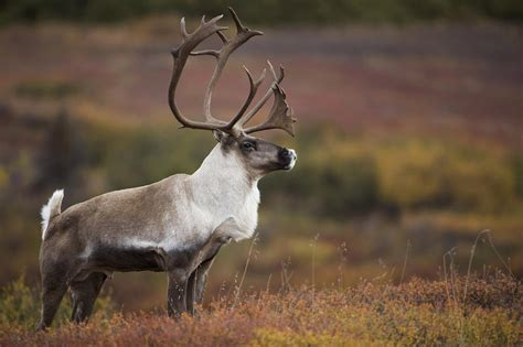 Alpine Duvet Cover Bull Caribou On Autumn Tundra In Denali Photograph By Milo