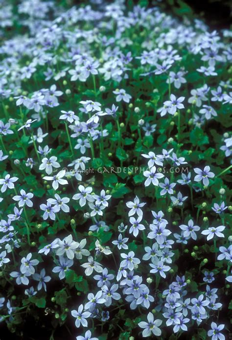 blue flowers picture tiny flowers in bloom light colored pratia pedunculata plant flower stock
