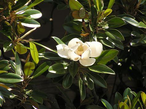 imagenes de magnolias blancas file magnolia grandiflora flower jpg wikimedia commons