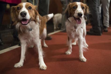 american kennel club dog breeds dog meet dog american kennel club adds 2 breeds to roster