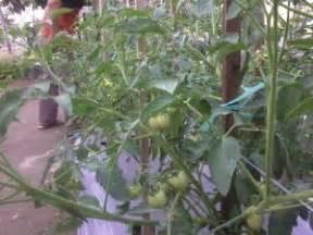 Bibit Terong Tahan Layu mengatasi penyakit layu bakteri pada tanaman tomat dengan