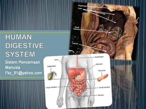 Human Digestive System Authorstream Human Digestive System Ppt