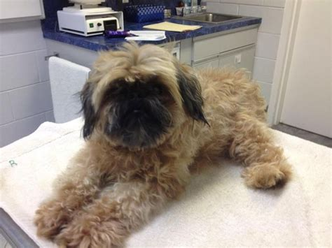 brussels griffon shih tzu 17 best images about pups needing placement on chugs adoption and