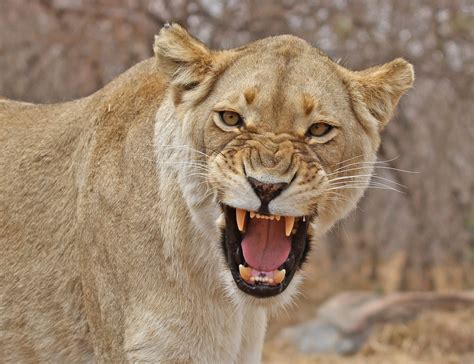 when a lioness growls a s pride books view topic battle of the prides needs characters badly