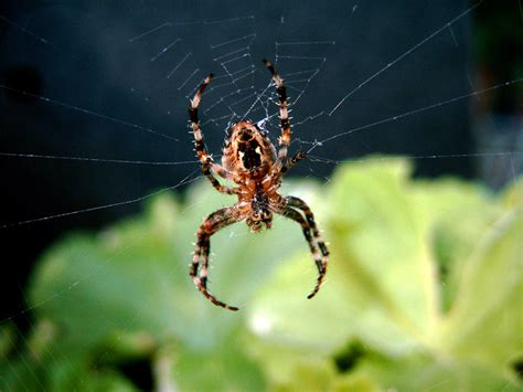 Garden Spider Info Treknature Garden Spider Photo