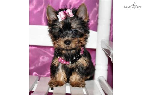baby teacup yorkies baby teacup yorkie puppies quotes