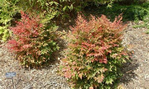top 28 small evergreen shrubs indian hawthorn